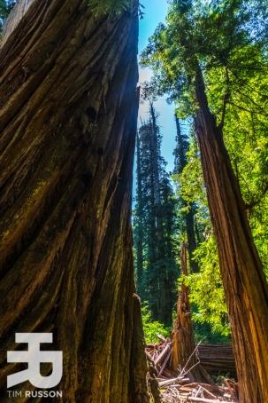 Tim-Russon-Redwoods-13